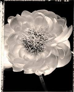 Charles Grogg Sent from the Garden – Poeny 1