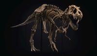 T. Rex Skelett erzielt 31,8 Millionen Dollar auf einer Auktion